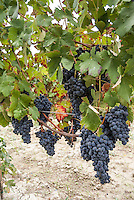 Oltrepò Pavese, uva nera --- Black grapes in the Oltrepò Pavese (province of Pavia)