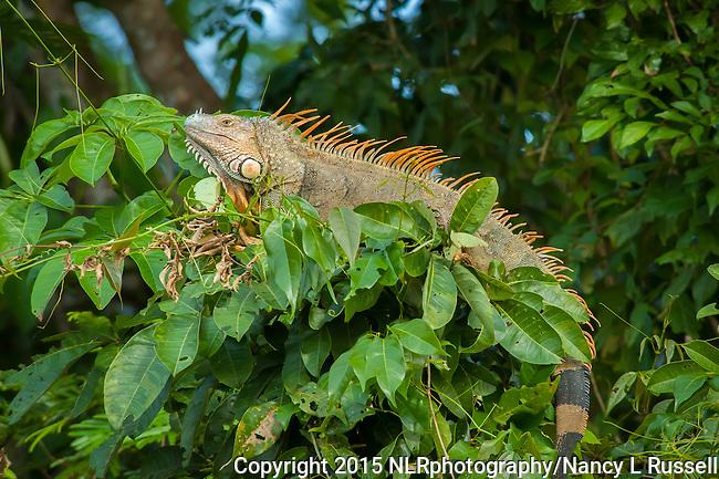 Colorful Iguana during breeding season in Tortuguero National Park in Costa Rica