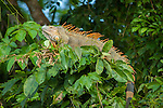 Colorful Iguana during breeding season in Tortuguero National Park in Costa Rica