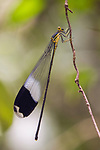 Giant Helicopter Damselfly (Megaloprepus caerulatus), Pipeline Road, Gamboa, Panama