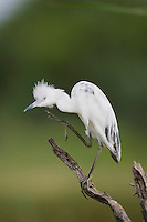 Little Blue Heron (Egretta caerulea), immature preening, Sinton, Corpus Christi, Coastal Bend, Texas, USA