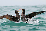 Northern Giant Petrel (Macronectes halli) pair fighting, Kaikoura, South Island, New Zealand, sequence 5 of 5
