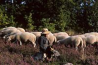 Europe/France/Limousin/19/Corrèze/Plateau de Millevaches : Bergère, brebis et lande de bruyère en fleurs<br /> PHOTO D'ARCHIVES // ARCHIVAL IMAGES<br /> FRANCE 1980