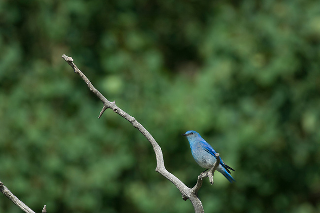 Mountain bluebird, Sialia currucoides, male, perched, aspen snag, branch, summer, June, morning, wildlife, nature, Beaver Meadows, Rocky Mountain National Park, Colorado, USA.