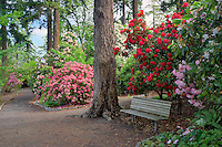 Bench and blooming rhododendrons at Crystal Springs Rhododendron Gardens. Oregon
