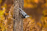 White-breasted nuthatch in autumn