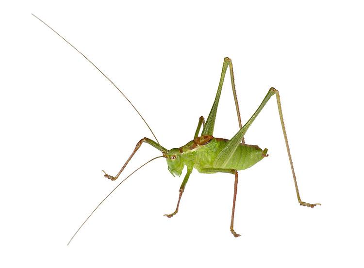 Speckled Bush-cricket - Leptophyes punctatissima - male