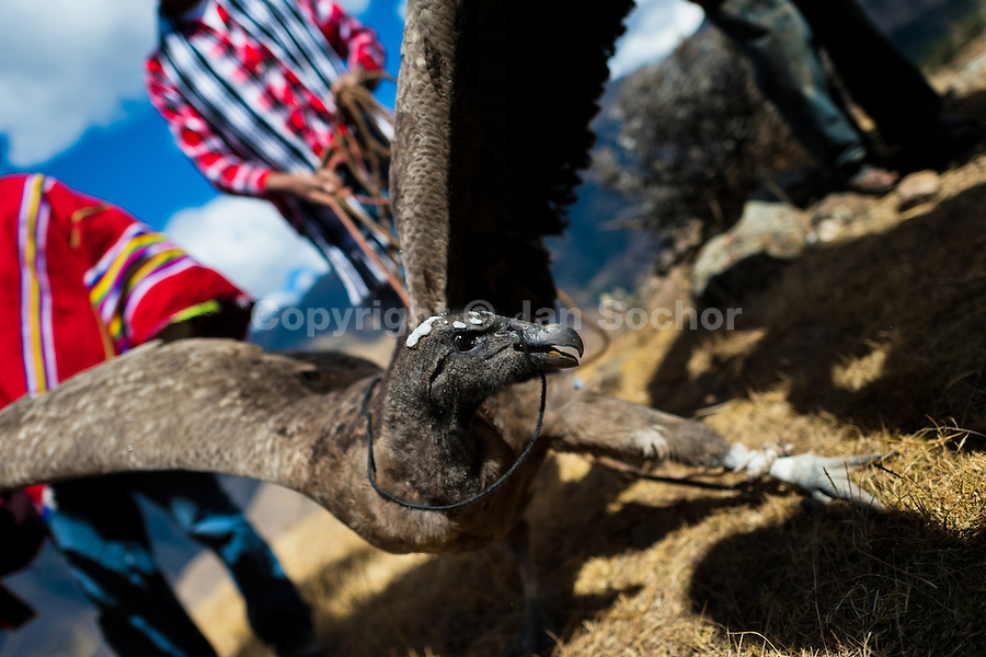 Peruvian Indians show a captured Andean condor before the Yawar Fiesta, a ritual fight between the condor and the bull, held in the mountains of Apurímac, Cotabambas, Peru, 28 July 2012. The Yawar Fiesta (Feast of Blood), an indigenous tradition which dates back to the time of the conquest, consists basically of an extraordinary bullfight in which three protagonists take part - a wild condor, a wild bull and brave young men of the neighboring communities. The captured condor, a sacred bird venerated by the Indians, is tied in the back of the bull which is carefully selected for its strength and pugnacity. A condor symbolizes the native inhabitants of the Andes, while a bull symbolically represents the Spanish invaders. Young boys, chasing the fighting animals, wish to show their courage in front of the community. However, the Indians usually do not allow the animals to fight for a long time because death or harm of the condor is interpreted as a sign of misfortune to the community.