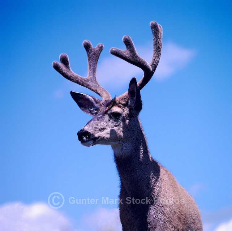 Mule Deer Buck (Odocoileus hemionus) in Velvet, BC, British Columbia, Canada - North American Wildlife