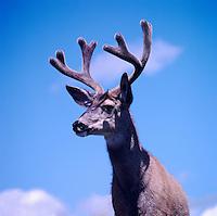Mule Deer Buck (Odocoileus hemionus) in Velvet, BC, British Columbia, Canada - North American Wildlife