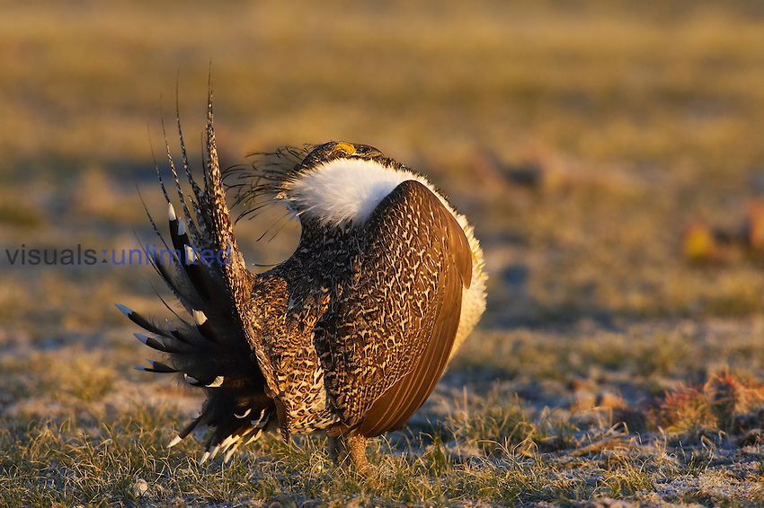 Male Greater Sage-Grouse (Centrocercus urophasianus).