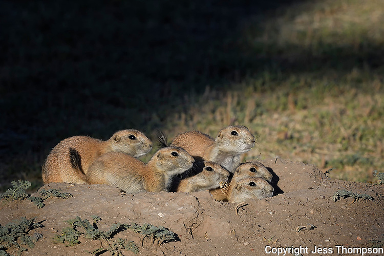 Prairie Dog young, San Angelo, Texas