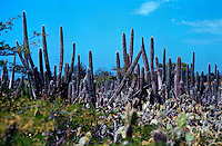 Cactus plants, Aruba, Dutch Antilles