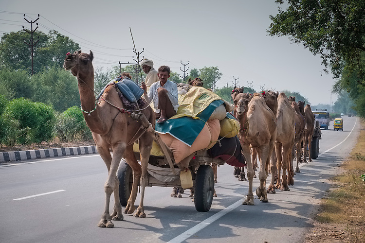 A procession of camels and their master make their way down a major highway linking Delhi to Jaipur.