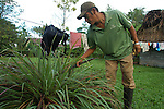Farmer in southern Belize harvests lemon grass in his yard for tea