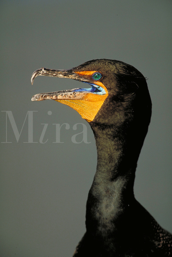 Double-crested Cormorant, portrait. Florida.