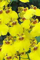Yellow Dancing Lady orchids Oncidium Sweet Sugar 'Million Dollar'