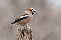 Hawfinch (Coccothraustes coccothraustes), male perched on a tree stump during snowfall, Innsbruck, Tyrol, Austria, Europe
