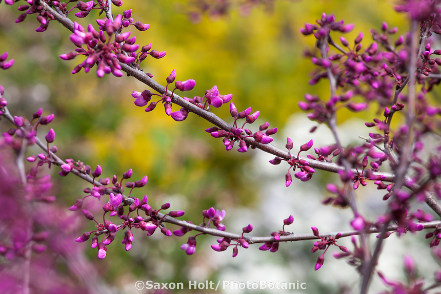 Western Redbud, Cercis occidentalis in California native plant garden