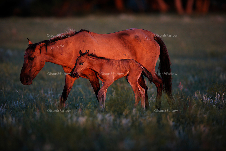 Born in the cover of night, a foal walks unsteadily beside his mother at day break. The freeze brand on the mares neck indicates she was a wild horse captured by the Bureau of Land Management.<br />