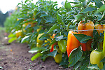 Meriwether's Restaurant is  one of the few restaurants operating their own 5 acre vegetable farm on Skyline Blvd. in NW Portland.  Throughout the 2009 harvest, the restaurant has served over 8000 pounds of Skyline Farm produce.  A variety of sweet peppers in the garden