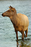 Female Elk crossing Madison River, Yellowstone National Park, Wyoming