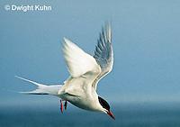 MC59-044z  Arctic Tern - flying above island - Machias Seal Island, Bay of Fundy - Sterna paradisaea