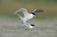 Forster's Tern, Sterna forsteri, pair mating, Welder Wildlife Refuge, Sinton, Texas, USA