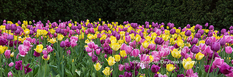 63821-22605 Yellow and pink tulips in spring, Chicago Botanic Garden, Glencoe, IL