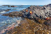 Marine iguana and Sally lightfoot crab, James Bay, Stantiago Island, Galapagos Islands, Ecuador.