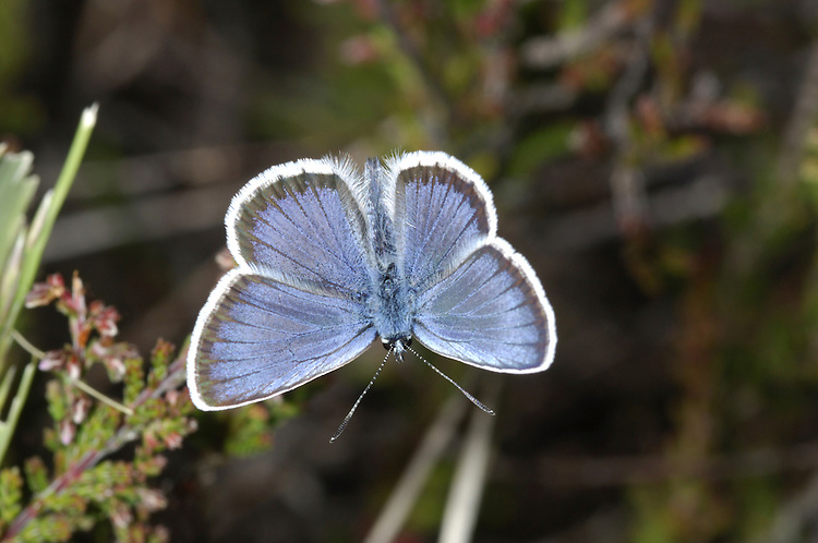 Silver-studded Blue Plebejus argus Wingspan 25-30mm. An iconic heathland butterfly whose fate is inextricably linked to appropriate habitat management. Flight is buzzing and hard to follow but adults are also fond of sunbathing on Heather. Adult male has blue upperwings with a white margin and dark submarginal band; female upperwings are brown with orange submarginal spots. Underwings are grey adorned with orange and black spots, with shiny spots at the centre of orange and black spots adorning the underwings. Flies June-July. Their larvae feed on Heather and gorse species.