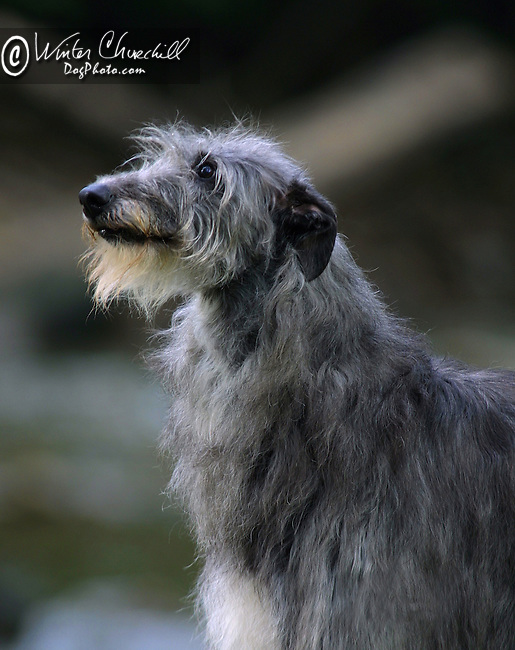 Scottish Deerhound Head study<br />