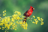 northern cardinal, Cardinalis cardinalis, male on blooming paloverde, Parkinsonia texana, Starr County, Rio Grande Valley, Texas, USA, North America