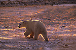 CANADA, MANITOBA, NEAR CHURCHILL, TUNDRA, POLAR BEAR WALKING