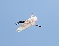 Sub-adult jabiru seen on August 2, 2017 in Chambers County, TX. The jabiru was hanging out with a large number of wood storks and feeding in a pond in a rice field. Bird was first seen August 1.