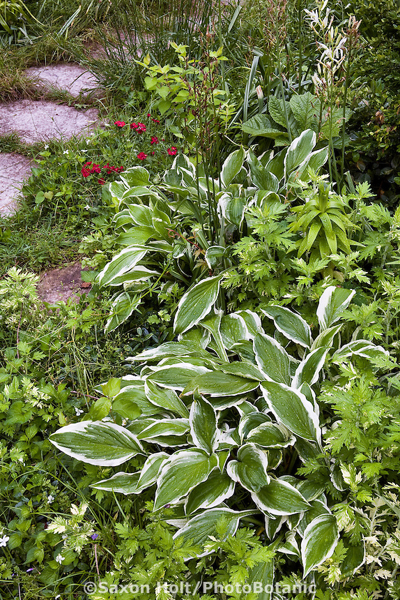 Hosta on edge of meadow garden front yard lawn substitute, St Louis Missouri; Matt Moynihan design