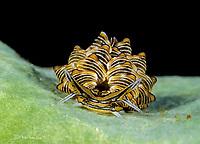 Butterfly Sea Slug, Cyerce nigra, in Romblon, Philippines, Pacific Ocean