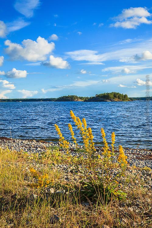 Gula blommor på Kanppelskär vid havet i Nynäshamn Stockholms skärgård.
