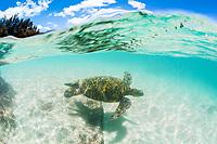 green sea turtle, Chelonia mydas, endangered species, Laniakea Beach, Oahu, Hawaii, USA, Pacific Ocean