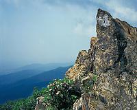 Mountain Laurel (Kalmia latifolia) in bloom at Franklin Cliffs; Shenandoah National Park, VA