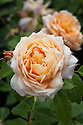 Rosa Grace ('Auskeppy'), early June. A shrub rose from David Austin introduced in 2001. The flowers are pure apricot in the centre with paler outer petals.
