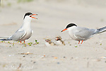 Common Terns (Sterna hirundo) pair with two chicks, calling, Nickerson Beach, Long Island, New York, USA