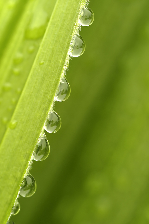 Dew drops on edge of false green hellebore leaves, Mount Rainier National Park, Washington, USA