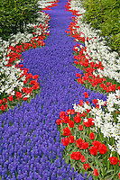 Pathway of Grape Hyacinth, Tulips, and daffodils through wooded garden, Keukenhof Gardens; Lisse; Netherlands, Holland