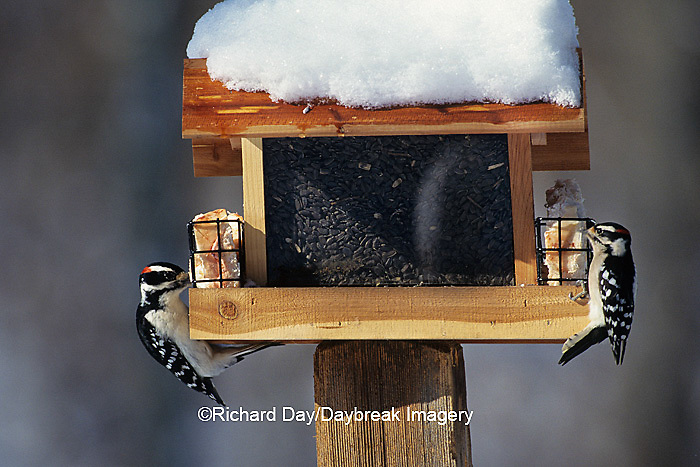 00585-00404 Hairy Woodpecker male & Downy Woodpecker male eating suet at feeder, Marion Co.   IL