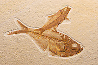 Fossil fish (large fish is Diplomystus denatus and small fish is a Knightia sp.) Green River Formation, Wyoming. Eocene epoch 40-45 mya.