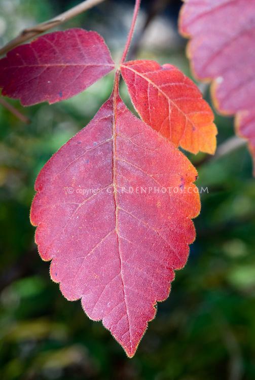 Rhus aromatica Fragrant Sumac in autumn color, fall foliage shrub