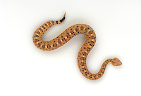Sidewinder, Crotalus cerastes, studio portrait, ideal for cutout