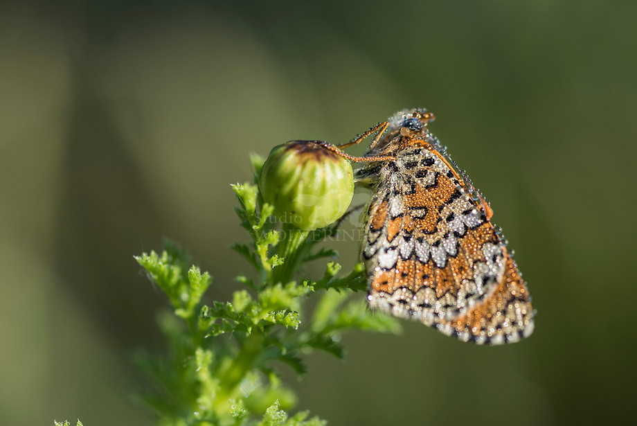 Veldparelmoervlinder (Melitaea cinxia), in rust