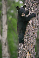 Black Bear cub watching from a tree it's clinging to